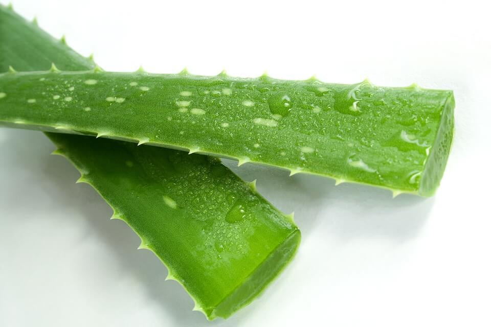 Aloe Vera o Aloe Arborescens: quale scegliere!