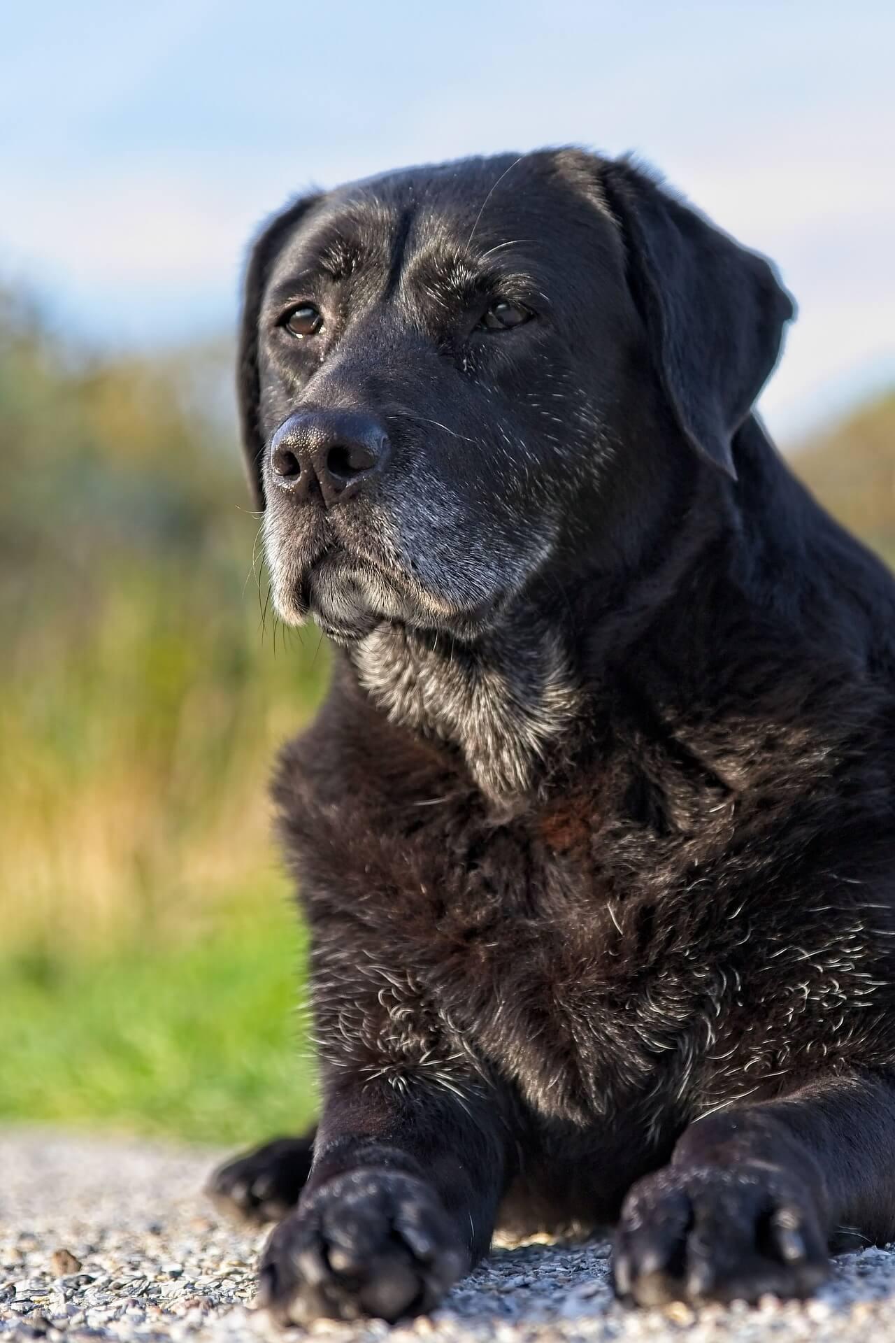 Senilità nel cane: come prendersi cura di un cane anziano