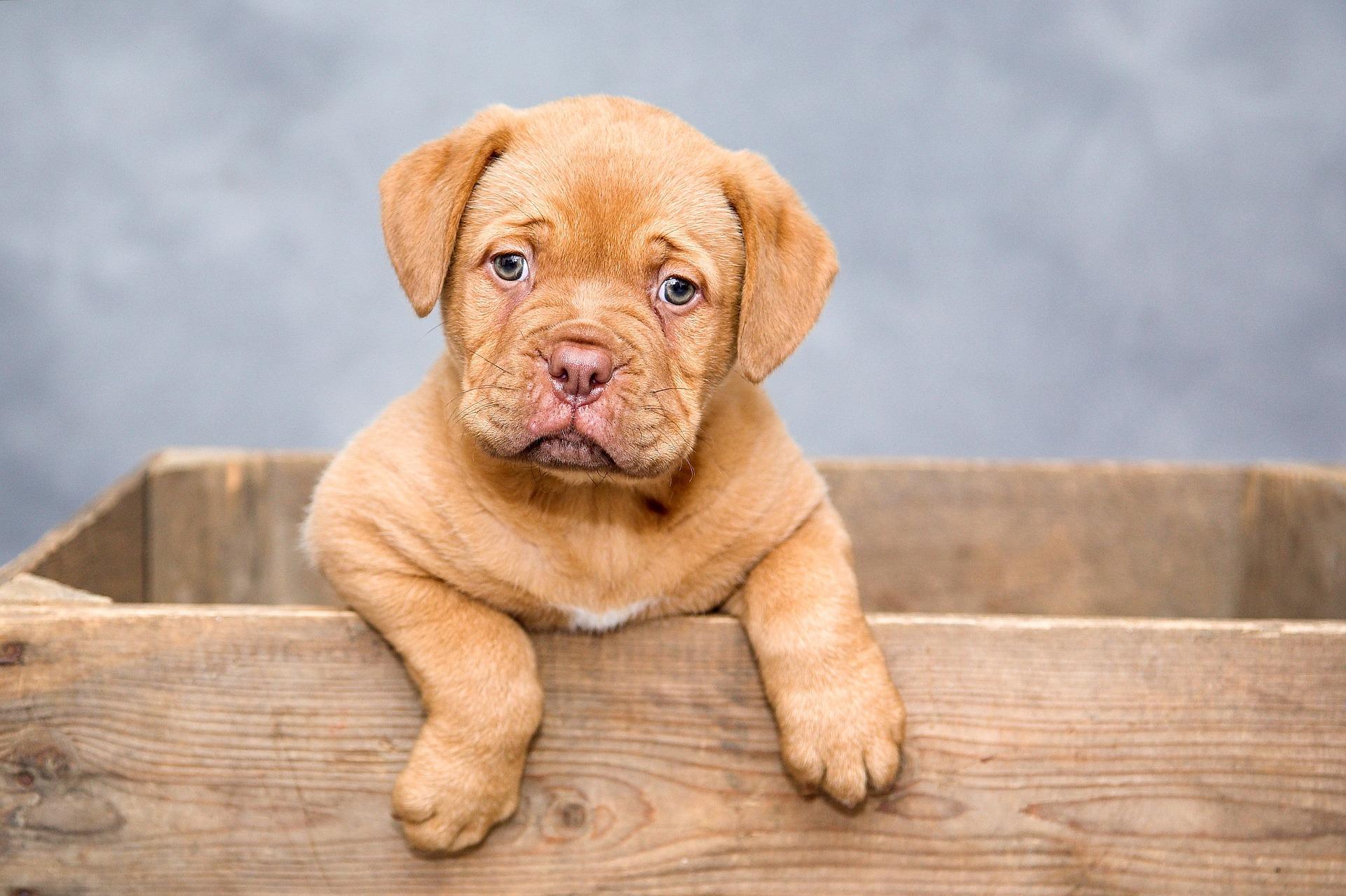 La genetica del comportamento del cane