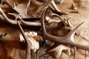 Read more about the article Corno di cervo per cani: a cosa serve?