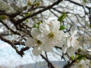 Read more about the article Ritrovare la calma con Cherry Plum